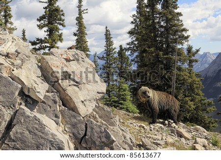 Grizzly bear in national park Banff (Albert. Canada) - stock photo