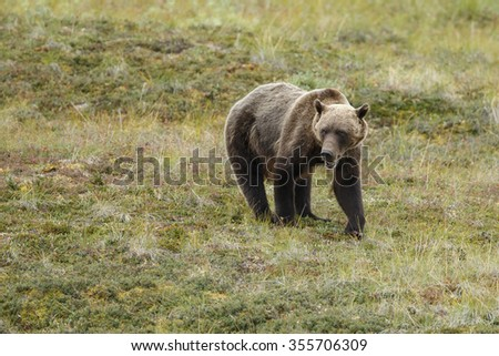 Grizzly bear in nature  - stock photo