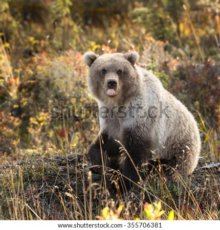 Grizzly bear in nature with autumn colors - stock photo