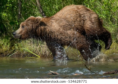 grizzly bear in profile running into a river to chase salmon