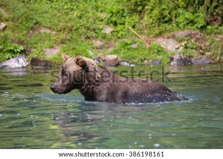 Grizzly Bear in river