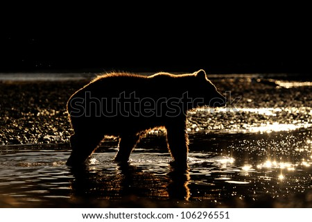 Grizzly Bear in river at sunset. - stock photo