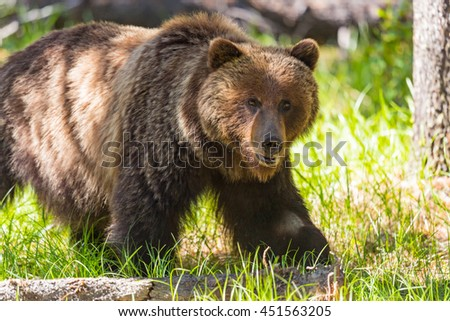Grizzly Bear in the summertime Banff National Park Alberta Canada - stock photo