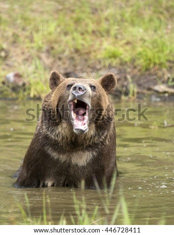 Grizzly bear in water growling at camera.  Vertical. - stock photo