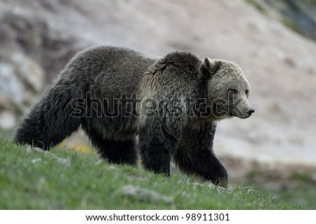 Grizzly Bear in Yellowstone National Park - stock photo