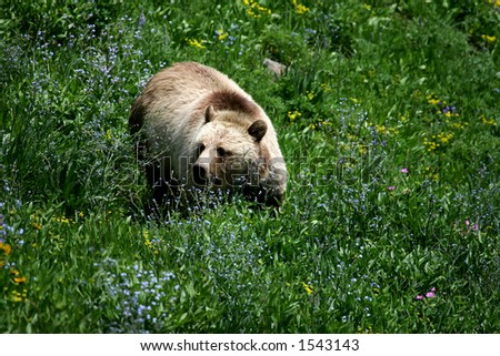 Grizzly Bear in Yellowstone National Park, Wyoming - stock photo