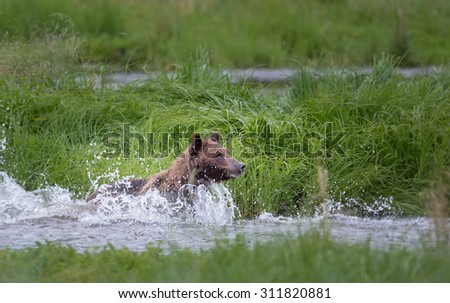 Grizzly bear jumps in water in search of salmon - stock photo