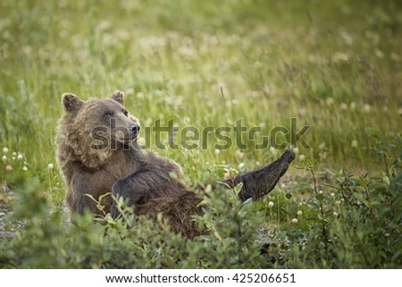 Grizzly bear (lat. Ursus arctos horribilis) lying on its back in the wilderness of the Yukon in Canada - stock photo