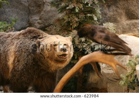 Grizzly Bear looking at crow for lunch