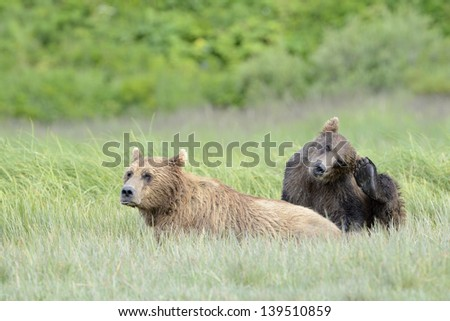 Grizzly Bear mother with cub in grass - stock photo