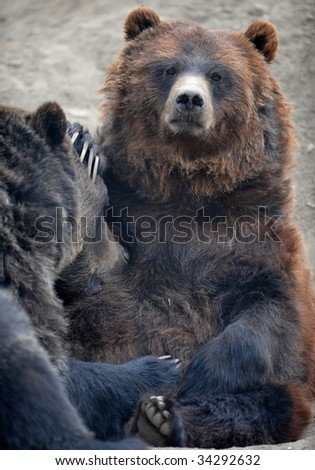 grizzly bear or north american brown bear female adult feeding her large juvenile son, wyoming, united states
