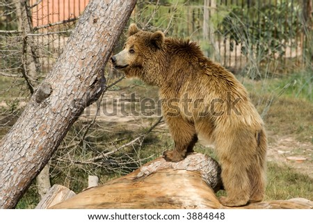 Grizzly bear over a tree in a zoo - stock photo
