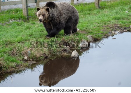 Grizzly Bear Reflection at Grouse Mountain, Vancouver