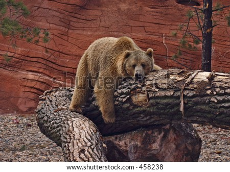 Grizzly Bear resting on tree stump - stock photo
