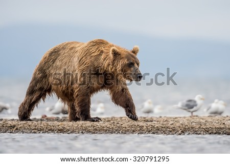 grizzly bear roaming in alaska's katmai walking on shore after fishing for salmon in the lake - stock photo