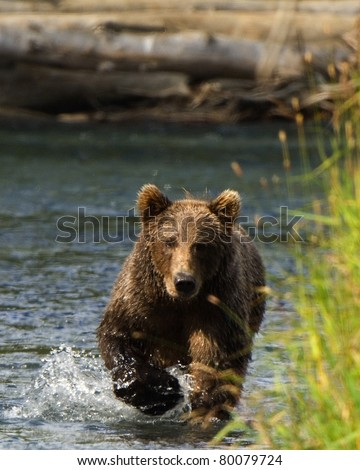 Grizzly Bear Running for Salmon.  With their excellent vision, bears can see salmon swimming in the shallow streams and often run to try to catch them before the fish escape. - stock photo