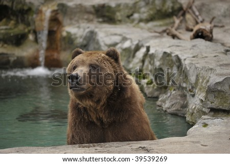 Grizzly bear sitting and cooling off in pool of water - stock photo