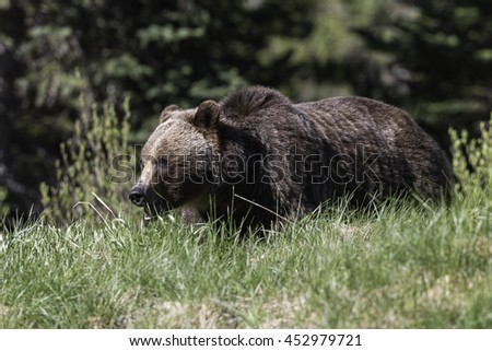 Grizzly Bear Sow in Kananaskis Country, Alberta, Canada - stock photo