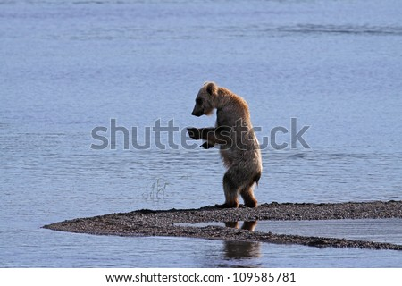 Grizzly Bear standing on an Alaskan shore.
