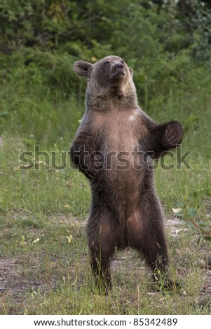 Grizzly Bear Standing on Hind Legs - stock photo