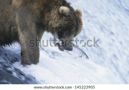 Grizzly bear swimming with fish in mouth - stock photo