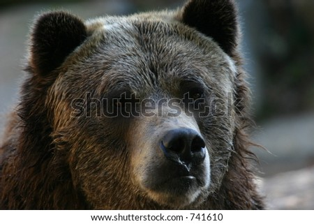 Grizzly bear (Ursus arctos) (captive)