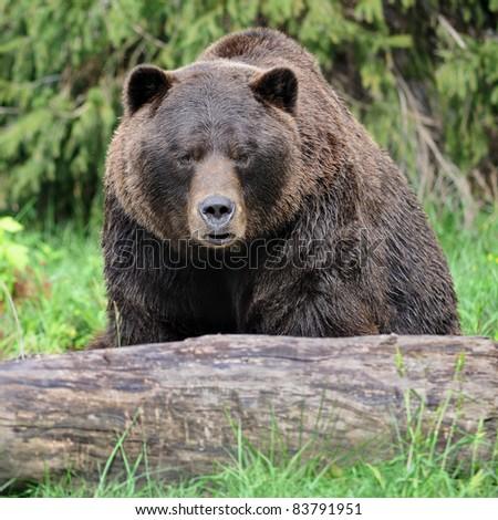 Grizzly bear (Ursus arctos horribilis) - stock photo
