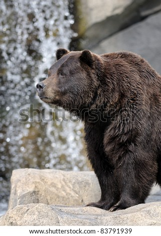 Grizzly bear (Ursus arctos horribilis) in front of waterfalls - stock photo
