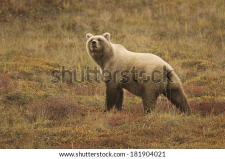 Grizzly Bear (Ursus arctos) sow Denali National Park, Alaska. - stock photo
