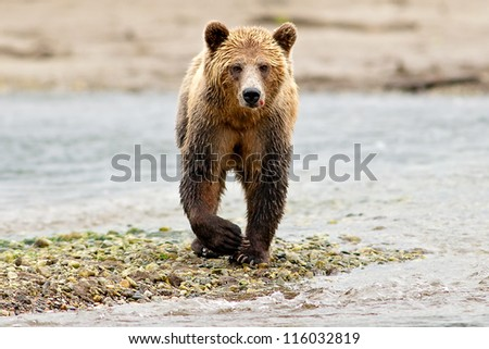 Grizzly Bear (Ursus arctos) with blood looking at camera - stock photo