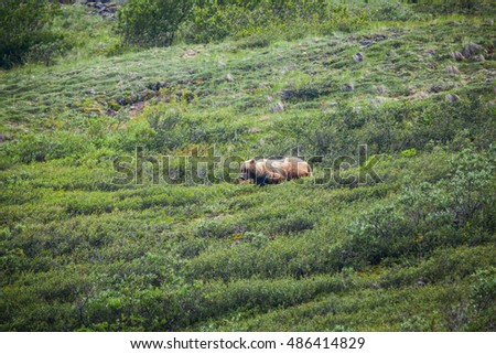 Grizzly bear walking through meadows in Denali National Park.