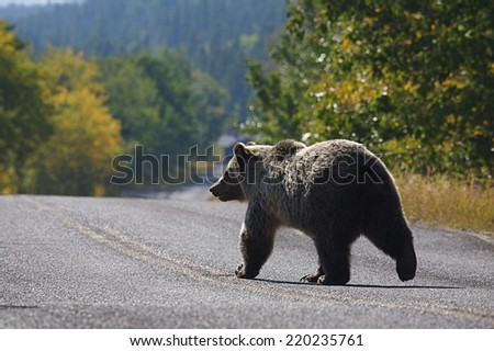 Grizzly Bear walks across the road in Glacier National Park, in the Rocky Mountains of Montana.
