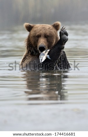 Grizzly Bear with fish in water. - stock photo