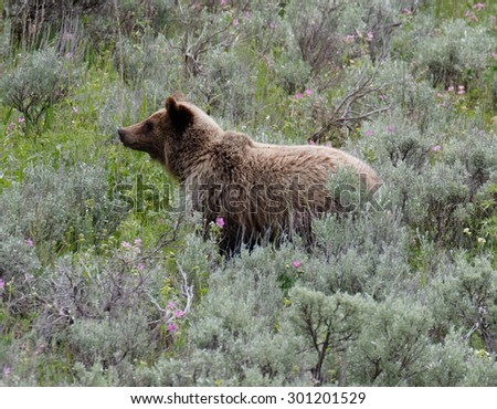 Grizzly bear, Yellowstone National Park, Wyoming, USA - stock photo