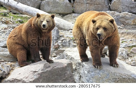 Grizzly bears - stock photo