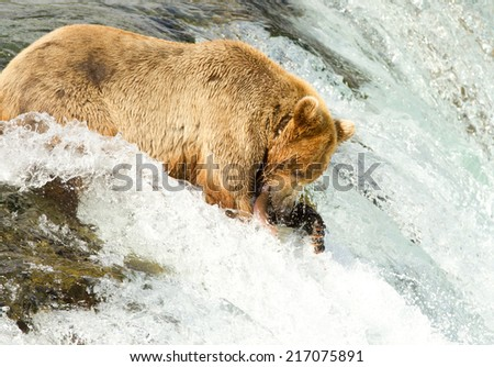 Grizzly catching salmon (Alaska/USA) - stock photo