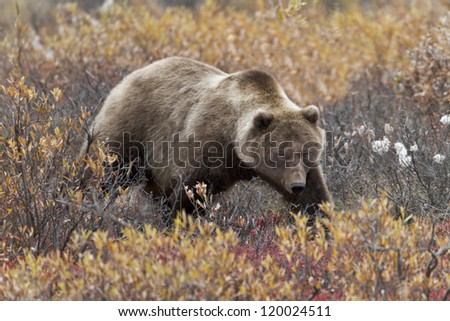 Grizzly in the Bear Berries - A grizzly bear is searching for bear berries in the bear berry bushes. Denali National Park, Alaska. - stock photo