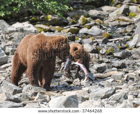 grizzly mother and cub catch salmon - stock photo