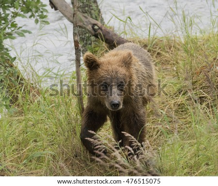 Grizzly or Brown Bear Cub