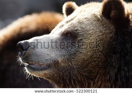 Grizzly or brown bear, Ursus arctos, profile
