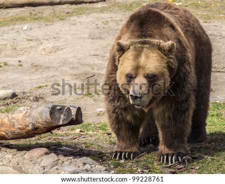 Grizzly out for a walk - stock photo