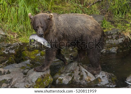 Grizzly sow luring her cubs away from the river with salmon, Russian River, Alaska.