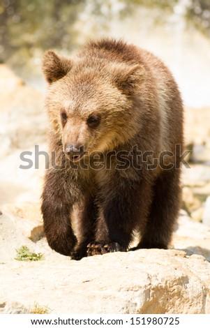 Grizzly (Ursus arctos) bear cubs playing - stock photo