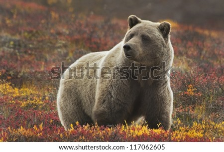 Grizzly (Ursus arctos) bear, Denali Nat'l Park, Alaska - stock photo