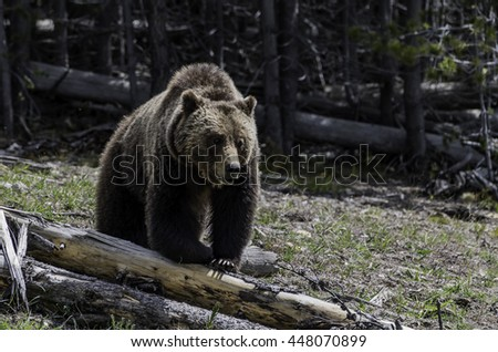 Grizzly walking on the log at Yellowstone National park