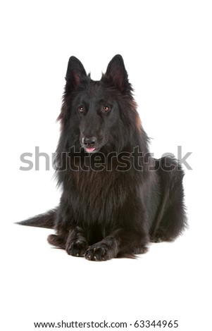 Groenendaeler, long haired belgium shepherd dog - stock photo