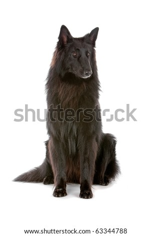 Groenendaeler, long haired belgium shepherd dog isolated on white - stock photo