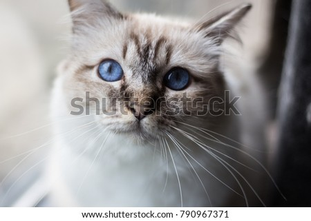 Groningen, the Netherlands - September 19, 2017: A white burmese cat with blue eyes in front of a window in an apartment in Groningen, the Netherlands.