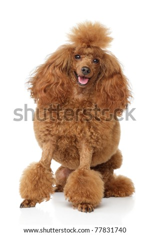 Groomed toy poodle puppy sits on white background