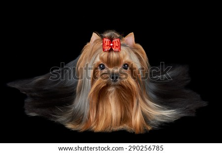 Groomed Yorkshire terrier with red bow and very long hair lies on black isolated background.                                - stock photo